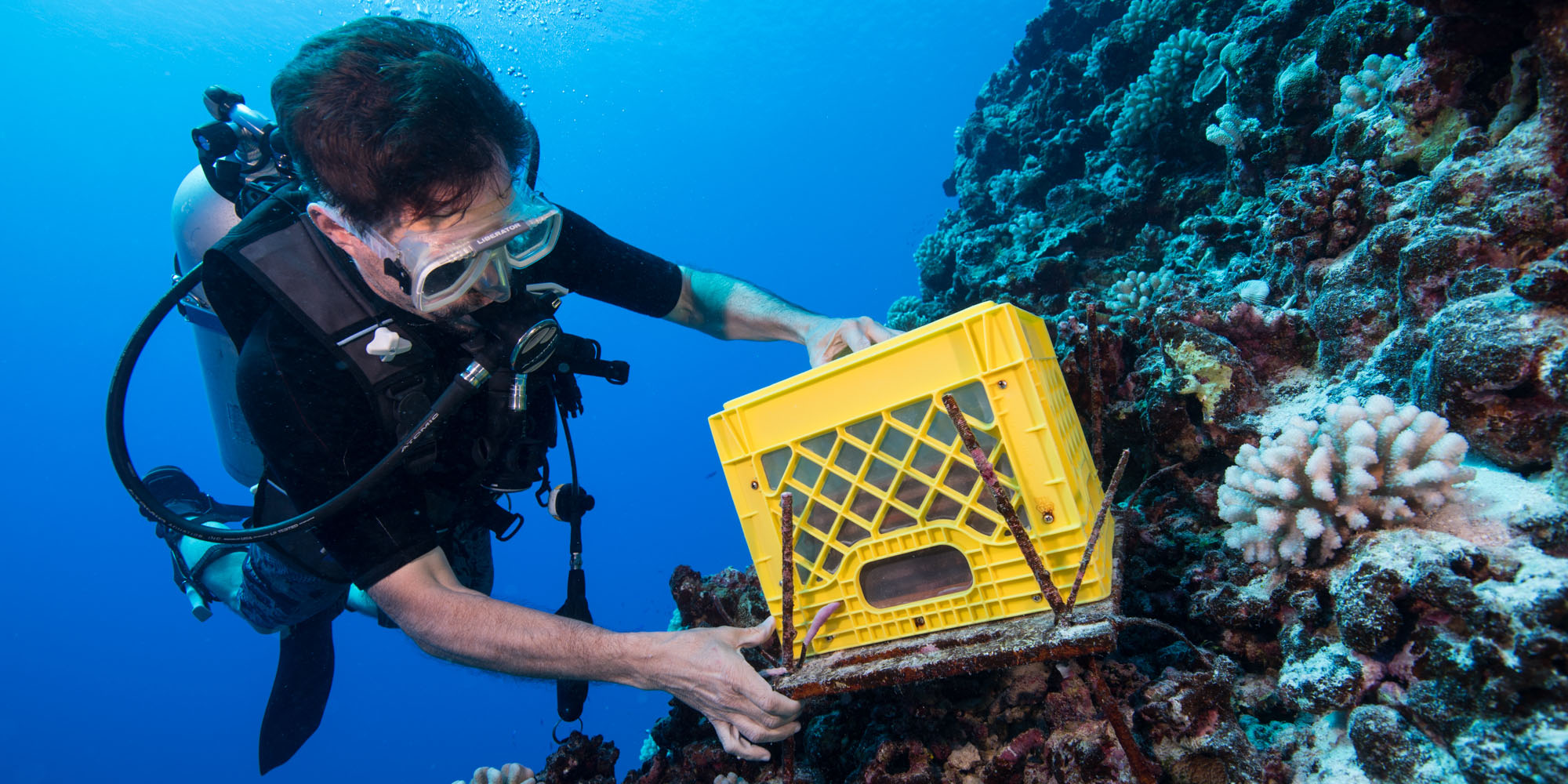 a diver places a mesh-lined crate over on a coral reef.